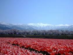 舟川べりの春の景色