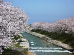 舟川べりのせせらぎと桜